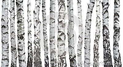 Troncos del abedul aislados en blanco foto de archivo imagen 40503258 - Abedul blanco ...