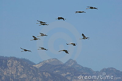 Troop of cranes  flying