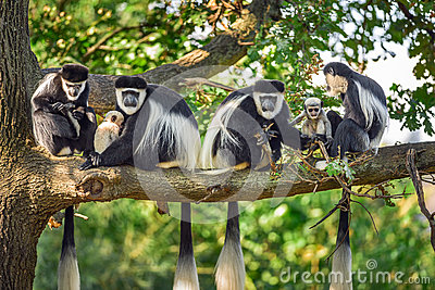 A troop of Mantled guereza monkeys with two newborns Stock Photo