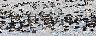 Troop wild goose grazing in wintertime