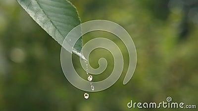 Tropfen des Wassers auf einem grünen Blatt stock video footage