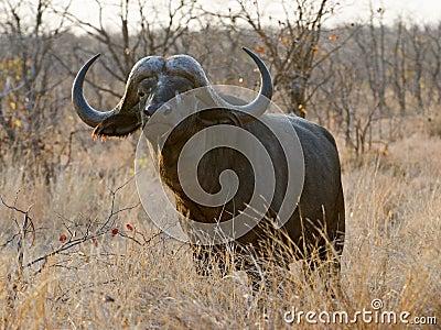 Trophy Buffalo Bull