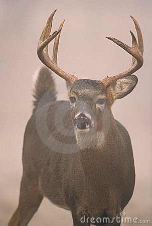 Trophy Whitetailed Buck in Fog