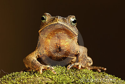 tropical amazon toad on moss
