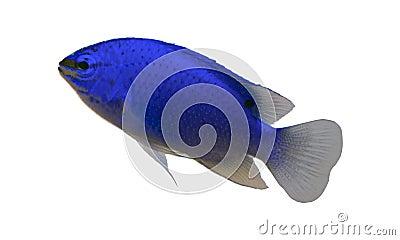 Tropical aquarium fish Stock Photo