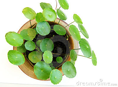 Tropical aquatic plant in pot