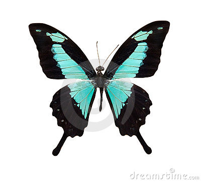 home  gt  royalty free stock photo  tropical blue and black butterfly