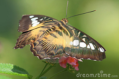 Tropical Butterfly Royalty Free Stock Photography - Image: 17996467