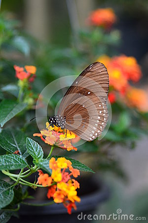 Free Tropical Butterfly Feeding. Bai Orchid And Butterfly Farm. Mae Rim. Chiang Mai Province. Thailand Stock Images - 87723354