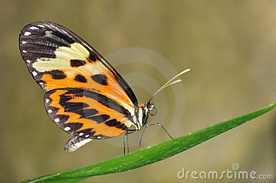 Tropical butterfly on leaf