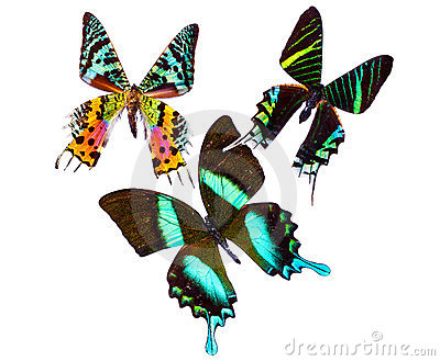 Tropical Butterflys