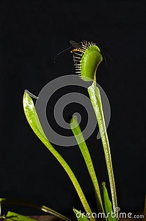 Tropical carnivorous plant
