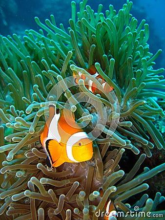 Tropical clown fish Stock Photo