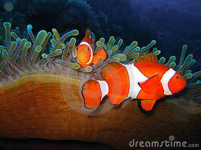 Tropical clown fish family Stock Photo