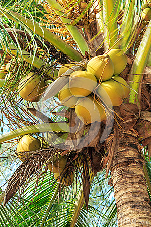 Tropical coconuts