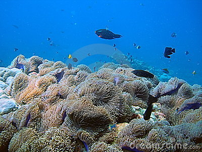 Tropical coral fish and reef