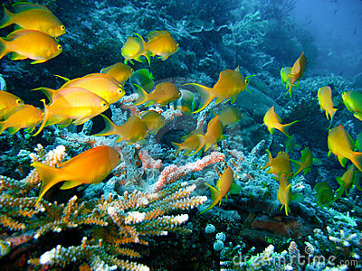 Coral reef fish yellow - photo#20