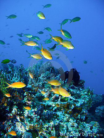 Free Tropical Coral Reef Fish Royalty Free Stock Image - 4494286