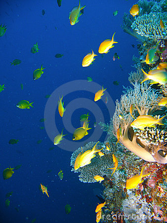 Free Tropical Coral Reef Fish Royalty Free Stock Photography - 4496547