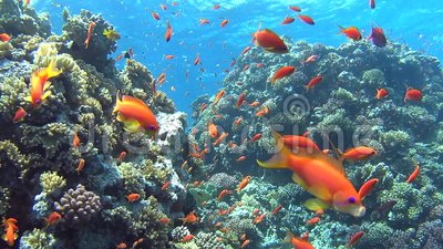 Tropical coral reef scene with shoals of fish. Beautiful underwater tropical coral reef landscape scene with shoals of anthias fish pseudoanthias squamipinnis stock video footage