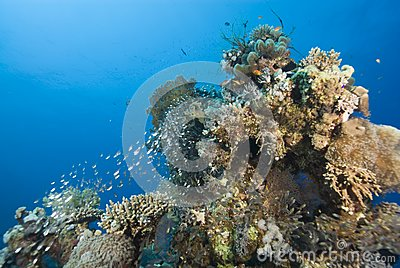Tropical coral reef with small school of Glassfish