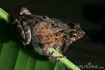 tropical crested toad rain forest amphibian night