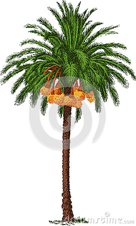 Tropical date palm. Vector