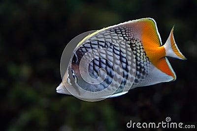 Tropical fish №20