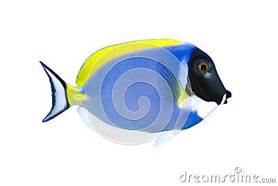 Tropical Fish Acanthurus