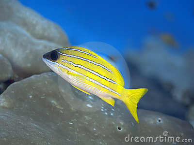 Tropical fish Bluestripe Snapper