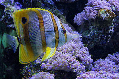Tropical fish chelmon