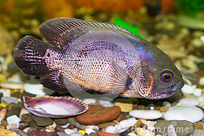Tropical fish cichlid