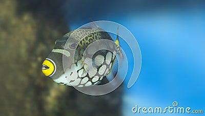 Tropical fish -Clown Triggerfish