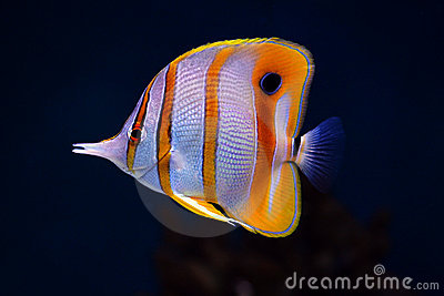 Tropical fish Colourful Sixspine butterfly-fish