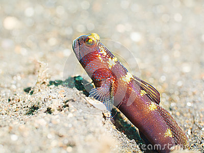 Tropical fish Goby