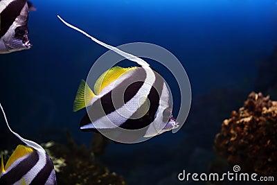 Tropical fish Heniochus acuminatus
