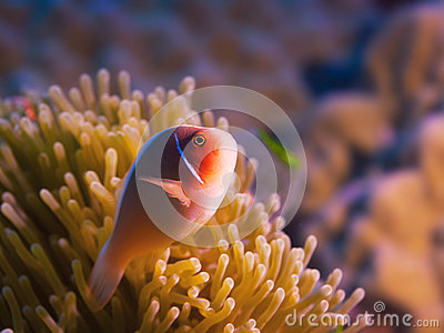 Tropical fish Pink clownfish