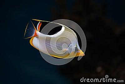 Tropical fish Saddleback Butterflyfish