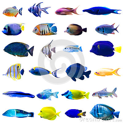 Free Tropical Fish Set Royalty Free Stock Photography - 52473237