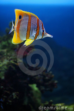 Tropical fish Sixspine butterfly-fish