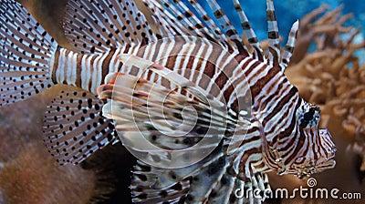 Lionfish Derby | Invasive Species | Florida & Florida Keys