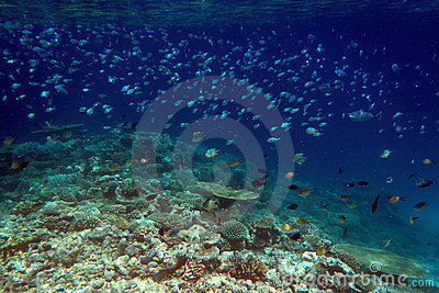 Tropical fishes in coral reef