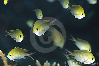 Tropical fishes Golden Chromis