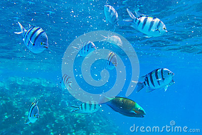 Tropical fishes of Red Sea
