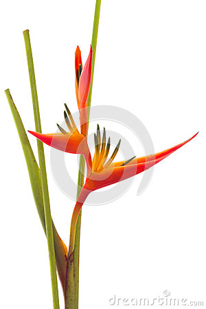 Tropical flower Bird of Paradise, isolated