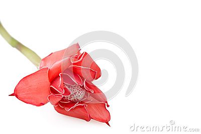 Tropical flower Ginger torch on white background