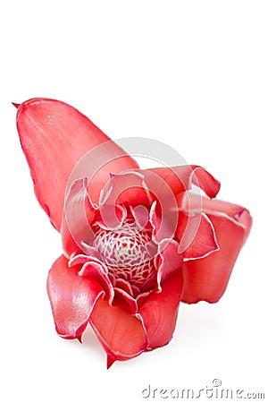 Tropical flower torch ginger (Etlingera elatior)