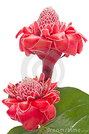 Tropical flower torch ginger isolated