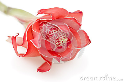 Tropical flower torch ginger on white