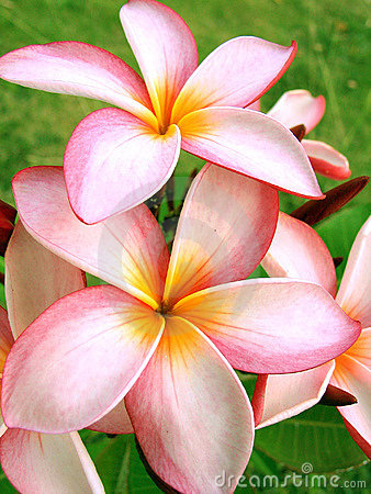 Free Tropical Flowers Royalty Free Stock Image - 732746